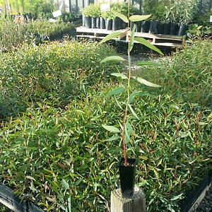Woodlot trees redgums and tas blue gums $1.50 each McLaren Vale Morphett Vale Area Preview