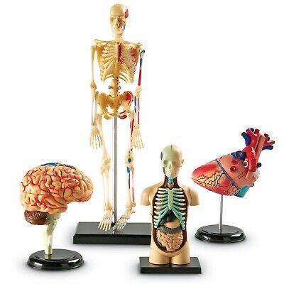 Human Body Anatomy Models Set Skeleton Heart Brain Medical School Educational Tv