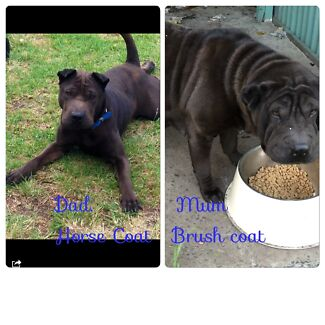 Shar pei puppies Coraki Richmond Valley Preview