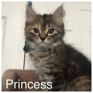 Beautiful Maine Coon/Persian Kittens