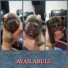 Purebred French Bulldog Puppies Adelaide CBD Adelaide City Preview