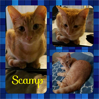 Scamp (Adopt me Kittens)