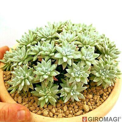 Dudleya greenei, ダドレヤ POTØ20cm - GIROMAGI Cactus & Succulent Plants