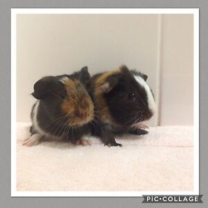 Lovely Female Baby Guinea Pig Kiels Mountain Maroochydore Area Preview