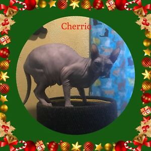 Adult hairless Donskoy cat  Don Sphynx