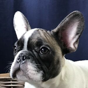X-mas French bulldog boys (647)7711955