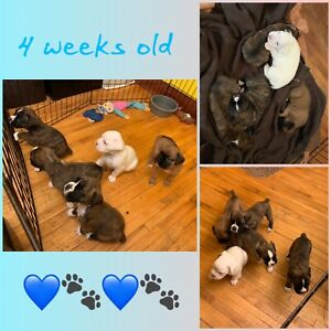 Just 3 Sweet Boxer Puppies still available
