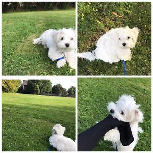 Purebread 3 month old Maltese