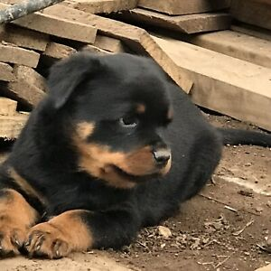 rottweiler x puppies | Dogs & Puppies | Gumtree Australia Free Local