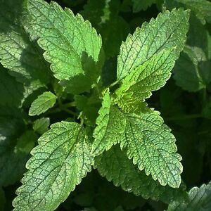 LEMON BALM 600 SEEDS MELISSA OFFICINALIS MOSQUITO REPELLENT Containers Shade USA