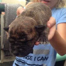 FEMALE STAFFY PUP FOR SALE North St Marys Penrith Area Preview