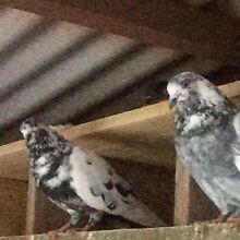 Beautiful pigeons for sale Reynella East Morphett Vale Area Preview