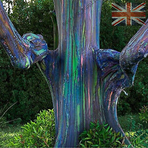 RARE RAINBOW EUCALYPTUS, Mindanao Gum,  Deglupta - 15+ Viable Seeds - UK SELLER