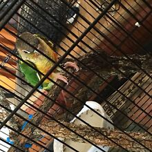 Yellow sided green cheek conure hen Yamanto Ipswich City Preview