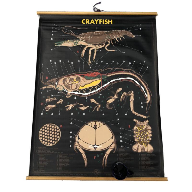 Vtg School Biology Science Pull Down Chart Poster Art 1960's Crayfish Turtox