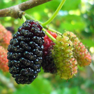 Mulberry Bush x 2 - Morus Nigra - supplied at height:30cm. Free Delivery