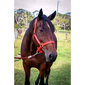 """Jet"" 15.2hh STB Gelding Point Clare Gosford Area Preview"