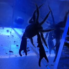 Black hitchhiker crab for a marine aquarium Inglewood Stirling Area Preview