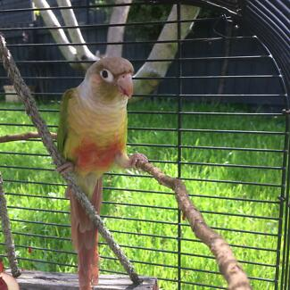 Two lost parrots- $100 if returned