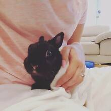 Tiny Netherland Dwarf Rabbit Oakleigh South Monash Area Preview