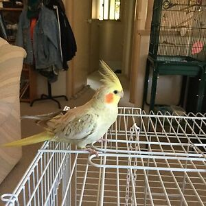 LOST & STILL MISSING : Pale Cinnamon Yellow Cockatiel Conder Tuggeranong Preview