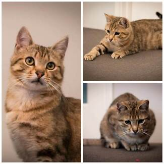 AC0382 : Colin - CAT for ADOPTION- Vet work included Ellenbrook Swan Area Preview