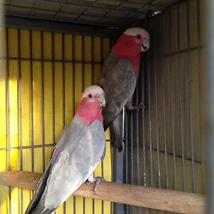 Baby Galah for sale $130 Heidelberg West Banyule Area Preview