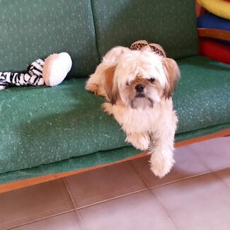 Shih Tzu x King Charles Cavalier Puppy