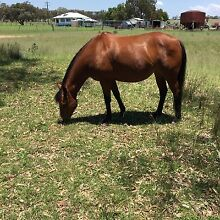 Mare for sale Warwick Southern Downs Preview