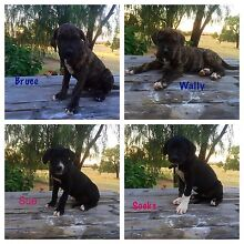 Dane mastiff x wolfy bully pups Yetman Inverell Area Preview