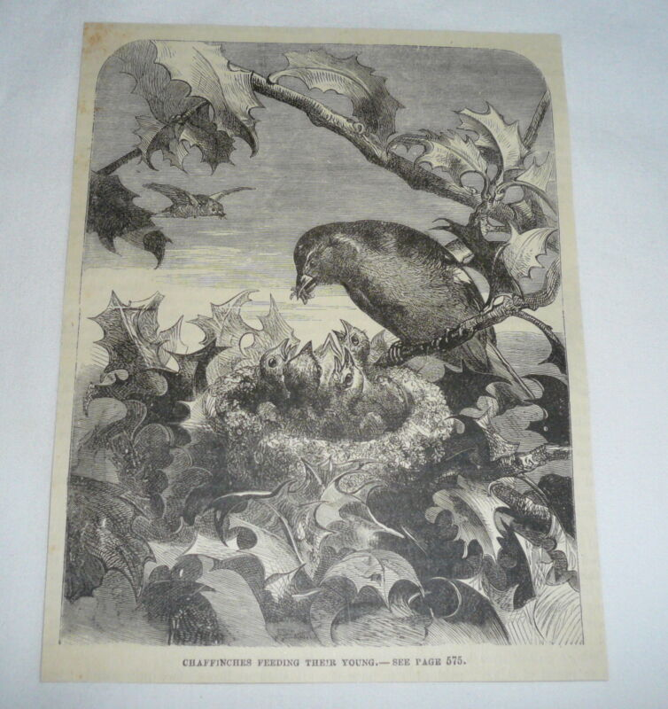1877 magazine engraving ~ CHAFFINCHES FEEDING THEIR YOUNG