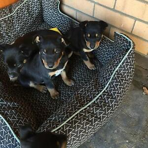 Black and Tan kelpie pups Darkan West Arthur Area Preview