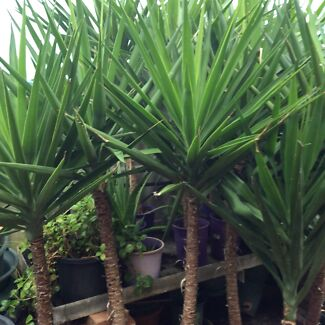 Potted Yuccas Plants