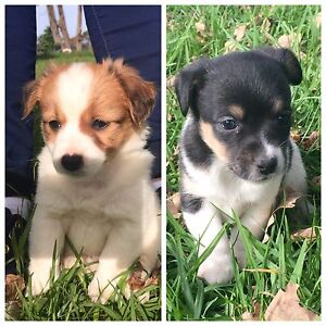 Puppies for sale Jack Russell X Pearcedale Casey Area Preview