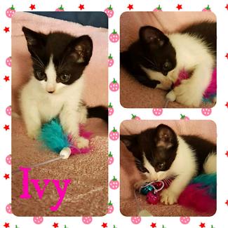 Ivy (Adopt me Kittens)
