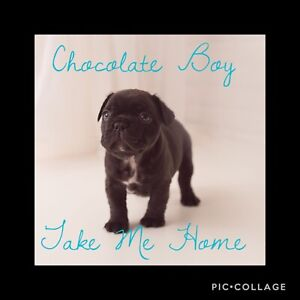 CKC Registered Chocolate Male Puppy Available