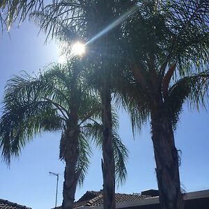 Palm Trees Giveaway Adelaide CBD Adelaide City Preview