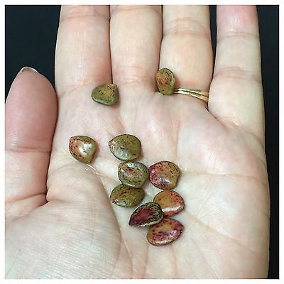 Caesalpinia Gilliesii Seeds Lot of 10 Yellow Bird Of Paradise Desert Plant Shrub