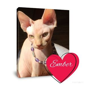 Ember a red tabby Sphynx is looking for her forever home!
