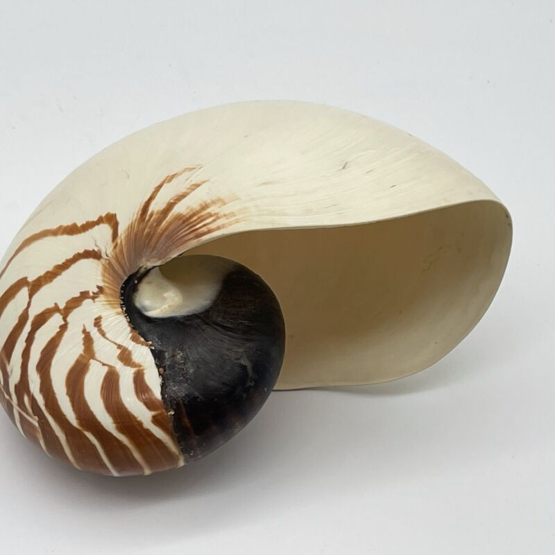 Striped Nautilus Shell With Tiger Stripe / Chambers - Beautiful Beach Decor