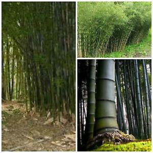 20 semi di bambusa bambos bambusa arundinacea bamb for Semi di bambu