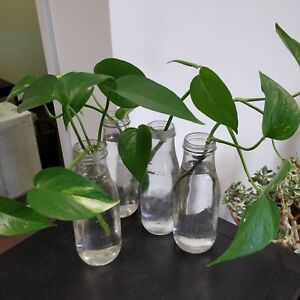 Golden pothos rooted in glass bottles