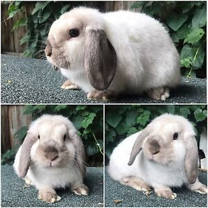 Mini lop rabbits Frankston North Frankston Area Preview