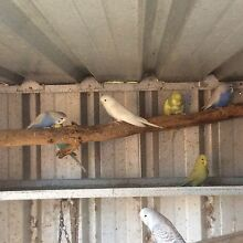 Zebra finches $5 baby budgies $15 Quakers Hill Blacktown Area Preview