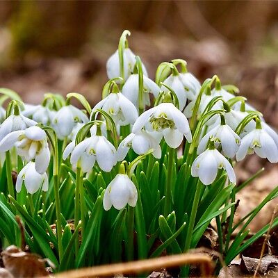 100 Snowdrops Spring Galanthus Nivalis Snowdrop Bulbs Plants, Seeds & Bulbs