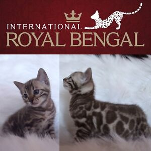 International Royal Bengal, Silver, Brown, Snow & Charcoal!