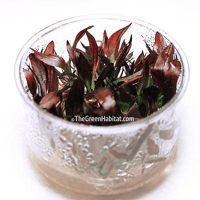 Echinodorus Aflame in Vitro Purple Knight Live Aquarium Plants Moss Decorations](Knight Decorations)