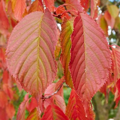 Carpinus betulus 'Rockhampton Red' | Common Hornbeam | Garden Tree | 5-6ft