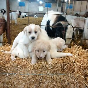 Golden retriever cross