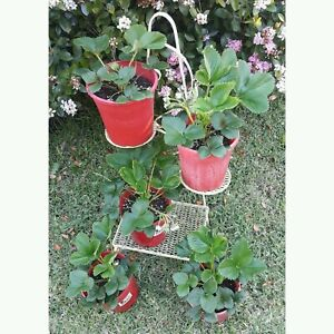 20 x large strawberry plants in pots $50 for the lot